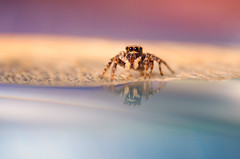 On the beach (Pásztor András) Tags: nature jumping spider jumper water reflection macro detailed sunlight flash red blue yellow sigma 105mm dslr nikon d5100 hungary andras pasztor photography 2017