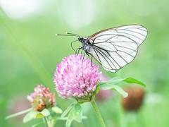 Butterfly sucking nectar (trasroid) Tags: butterfly aporiacrataegi エゾシロチョウ 蝶 insect japan 日本 北海道 hokkaido blackveinedwhite aporia アカツメクサ 赤詰草 ムラサキツメクサ redclover
