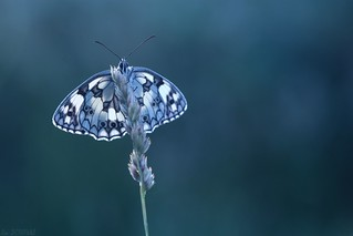 Marbled White - Brittany