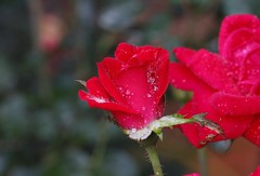 ~ After The Rain .... (~ Cindy~) Tags: tennessee rockwood summer 2017 roses red drops