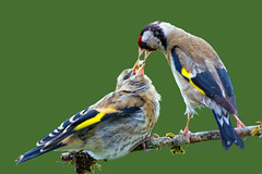 Eurasian Goldfinch (carduelis carduelis ) - Feeding the kids !! (Clive Brown 72) Tags: bird garden feeding brood young finch juvenile begging goldfinch wales