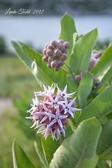 Spiky flower...milkweed....Explored..Thank You! (ltodd1) Tags: milkweedgreatfalls mt
