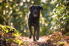 Daft! (Marcus Legg) Tags: marcuslegg max black labrador retriever lab blacklabradorretriever bokeh dog pet animal outdoors outside backlit fur green natural running fun golden dogs handsome woodland eos pets play 1dx forest