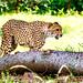 Cheetah : チーター