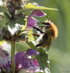 (Kaya.05) Tags: insecte fleur nature abeille bokeh printemps extérieur macro canon 5dsr hautesalpes france bokehlicious macrounlimited friends bokehwhores flickrelite flickrunitedaward autofocus ngc