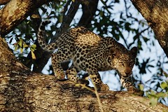 One of Mashapa's Cubs In A Tree (Susan Roehl) Tags: southafrica2015 londoloziprivatereserve nearkrugernationalpark mashapascub leopard animal carnivore tree unnamed facialrecognitionsystem 35000acres nofences freetotraveltokruger sueroehl photographictours naturalexposures pentaxk3 sigma150500mmlens handheld takenfromjeep cropped outdoors mammal unknowngender ngc npc