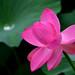 Lotus in the rain (t-hibi) Tags: