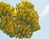 Century Plant Bloom (suenosdeuomi) Tags: agaveamericana centuryplant olympuspenepm1 olympus