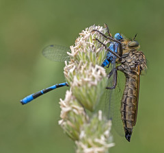 (3 of 3)Common Blue Damselfly (Enallagma cyathigerum) and Robber fly (Asilidae) (another walt) Tags: common blue damselfly enallagma cyathigerum robber fly asilidae dragonfly lackford lakes