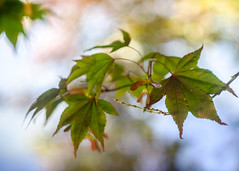 Ethereal (Fourteenfoottiger) Tags: blur abstract wings seeds maple acer trees leaves ethereal dreamy soft nature woods softbokeh bokeh helios44m manualfocus manual pretty mellow summer sunlight backlit backlight misty countryside gentle vintagelenses vintagebokeh