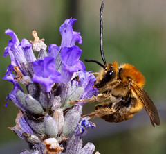 Holding on!   Male Long Horn Bee  on Lavender (JW Asturias) Tags: bumblebee macro nikon nikkor micro 105m ais f4 sony a7r wildlife wild life insects pollinators closeup flash