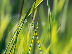 morning dew (marianna_a.) Tags: p5230274 green grass dew moist wet water drop macro plant bokeh hbw mariannaarmata