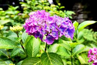Full bloom hydrangea