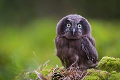 I'm watching you... (MyMUCPics) Tags: tschechien czechrepublic 2017 juli july natur nature drausen outdoor exterior wald forrest animal tier vogel bird greifvogel borealowl eule owl birdofprey jungtier young küken raufuskauz