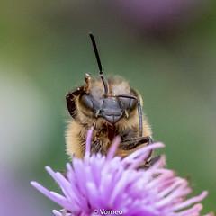HoneyBee-0006.jpg (vorneo) Tags: classinsecta honeybee kingdomanimalia europeanhoneybee bee familyapidae wild westernhoneybee genusapis phylumarthropoda speciesamellifera binomialnameapismellifera orderhymenoptera
