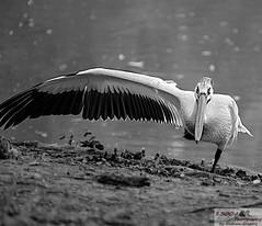 pelican yoga (1300 Photography) Tags: nikon affinty outdoors bird pelican yoga 500mm zoo stlouis