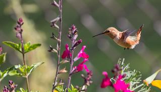 My Garden ( Allen's Hummingbird )742413 07/08/17