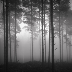 In the Pines II (Vesa Pihanurmi) Tags: pines trees trunks fog misty landscape woods blackandwhite monochrome finland porvoo emäsalo nature