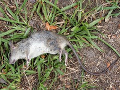 Hannah and her rat (Just Back) Tags: dog rat mutt kill canine carnivore rodent brutal tail paws teeth jaws hannah columbia sc whiskers mammal vertebrate instinct lawn feet eyes rattus meat nutrition fur gray white nose stenotaphrum grass bannon trump