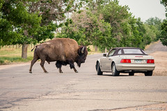 I Care Not About Your Mercedes (Uncharted Sights) Tags: rocky mountain arsenal national wildlife refuge colorad denver nature outdoors explore adventure discover canon 80d sigma 150500 bison buffalo