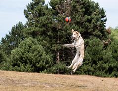 Collinn 10 Months (Djiezes Kraaist) Tags: golden retriever collinn jump fetch ball