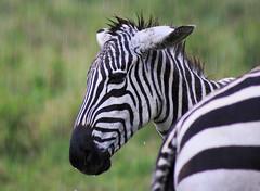 Safari (imanolg) Tags: baby rain zebra kenia safari africa