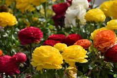Buttercups (petrOlly) Tags: poland polska polen pomorze europe europa gdynia tricity trójmiasto flower flowers nature natura przyroda