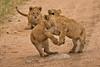 Lions of Maasai Kopjes 439 (Grete Howard) Tags: bestsafarioperator bestsafaricompany africa africansafari africanbush africananimals whichsafaricompany whichsafarioperator tanzania serengeti animals animalsofafrica animalphotos lions lioncubs maasaikopjes kopjes kopje