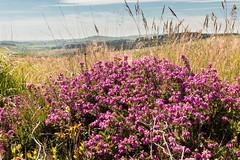 Heather (Keith in Exeter) Tags: heather bell flower moor erica devon dartmoor landscape nationalpark outdoor grass