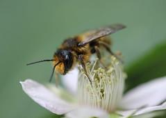 195/365 Keeping Busy (Helen Orozco) Tags: pollen blackberryblossom 2017365 canonrebelsl1 60mm flower sooc