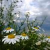 Daisy Flower (nicobubberman) Tags: fuji x10 flower sky clouds closeup