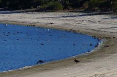 Lake Indoon, west of Eneabba, WA, 25/06/17 (Russell Cumming) Tags: bird greyteal australianshelduck yellowbilledspoonbill whitefacedheron silvergull lakeindoon eneabba jurien westernaustralia