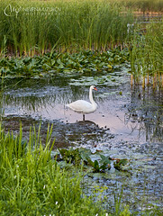 Nevena Uzurov - Swan (Nevena Uzurov) Tags: swan nature bird swamp zasavica serbia nevenauzurov wildplants naturalreserve sunset reflection