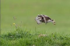 BurrowingOwl_flight_Cphotography-9767 (Cphotographyuk) Tags: burrowingowl canon canon500f4lisii canon1dxii wildlife birdsinflight