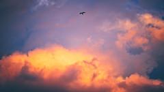 (Markus Hill) Tags: sky bird vogel falke evening cloud wolken weather sunset sonnenuntergang sonne dramatic color nature wetter himmel canon 2017 summer sommer hainburganderdonau niederösterreich österreich at