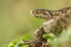 Vipera ursinii (Michele Remonti) Tags: vipera ursinii viperadellorsini gransasso rettile serpente pentax k3ii da100 macro wr