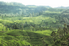 Kandy, Sri Lanka (cattan2011) Tags: landscape landscapephotography travel travelphotography traveltuesday travelbloggers nature naturephotography naturelovers farms soillanka teaplantation