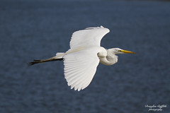 Great Egret (1gwords) Tags: fly sky beach water bird wetlands white heron large beautiful stunning canon sigma