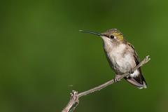 Colibri A Gorge Rubis / Ruby-throated Hummingbird (ALLAN .JR) Tags: hummingbird colibri bird oiseau nature wildlife ilestbernard nikon d500