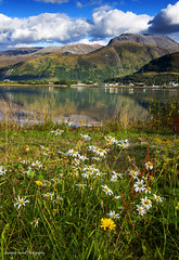 From petals to peaks. (lawrencecornell25) Tags: landscape waterscape bennevis scenery scotland scottishhighlands lochlinnhe reflection flowers daisies outdoors mountains sunart nikond4