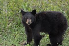 Black Bear cub (Hammerchewer) Tags: blackbear cub yearling wilflife outdoor yellowstone