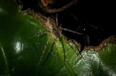leaf walker (dustaway) Tags: arthropoda arachnida araneae araneomorphae family australianspiders spinne araignee lismore northernrivers nsw nature australia