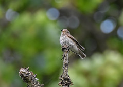 Spotted Flycatcher (CKM Duncan) Tags: muscicapa striata spotted flycatcher scotland wildlife birding perch close feather