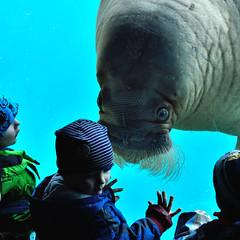 Close encounter... - Tierische Begegnung... (fish.eye65) Tags: square quadrat tier animal walross walrus