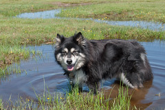 refreshing 22/52 (sure2talk) Tags: refreshing taivas finnishlapphund puddle water newforest nikond60 tamron18270mmf3563dillvcpzd we462017 52weeksfordogs 2252