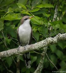Yellow-billed Cuckoo (Coccyges americans) - Roxbury, Connecticut (JFPescatore) Tags: coccyzusamericanus yellowbilledcuckoo