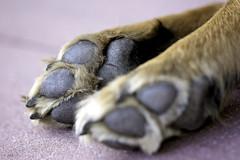 22/52 Weeks of Finn (Raquel Robison) Tags: 52weeksfordogs 52weekoffinn finn dogs paws texasheeler