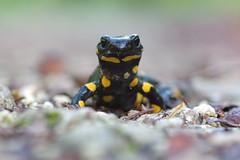 Feuersalamander (Aah-Yeah) Tags: feuersalamander salamander salamandra schwanzlurch caudata achental chiemgau bayern