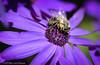 Macro Bee (Witty nickname) Tags: macro osteospermum africandaisy pollen wings purple buchartgardens britishcolumbia insect flower purpleflower 105mm nikkor105mmf28vr nikond800 d800 nature upclose