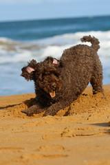 Manius (LoL) (natalia.bird_nerd) Tags: mydog manius beach logansbeach warrnambool australia